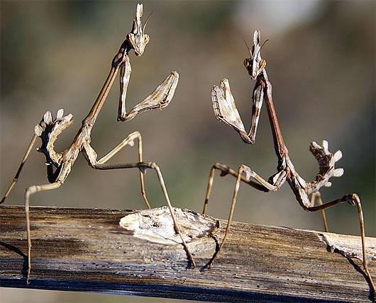 two-alienoid-praying-mantises-fighting
